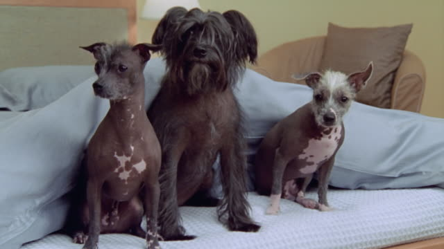 Wide shot Chinese Crested Powderpuff and two Mexican Hairless dogs on foot of bed/ California