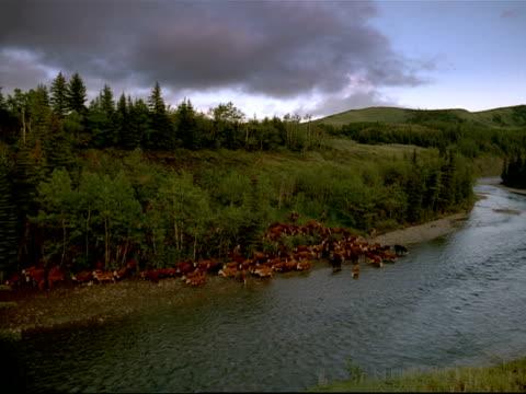 vidéos et rushes de wide shot cowboys herding cattle along riverbank / canada - caractéristiques de la terre