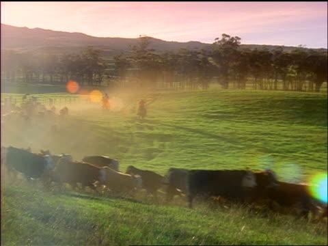 wide shot cowboys herding cattle over green field past cam / parker ranch, kamuela, waimea, hawaii - pflanzenfressend stock-videos und b-roll-filmmaterial