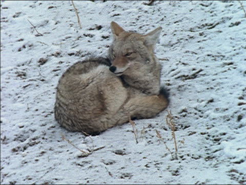 wide shot coyote curled up on ground, looking at camera with one eye/ coyote looking around before putting head back down/ yellowstone national park, usa - anno 1989 video stock e b–roll