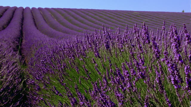 wide shot crane shot rows of lavender flowers on field / france - 植物 ラベンダー点の映像素材/bロール
