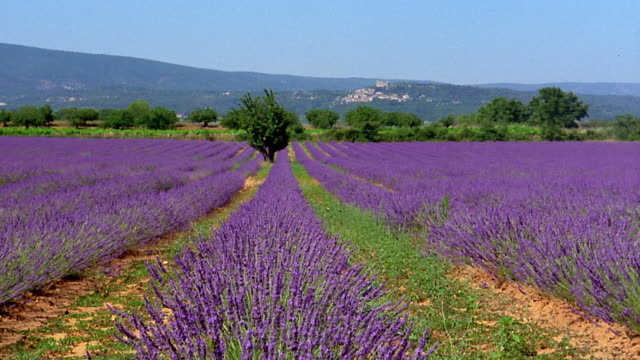 wide shot crane shot rows of lavender flowers with hills in background / france - provence alpes cote d'azur stock videos & royalty-free footage