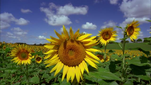 Wide shot crane shot tilt up field of sunflower fields / France
