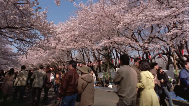 Wide shot crowds walking under cherry blossoms in Ueno Park/ Tokyo