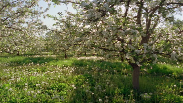 Wide shot dolly shot blooming apple orchard / girl and boy running through dandelion blossoms / Marion, New