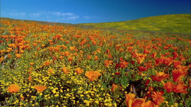 Wide shot dolly shot field of orange poppies with yellow buttercups on hill in background / Lancaster, California