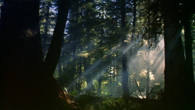 Wide shot dolly shot sunrays shining through trees in dark forest / Western Canada