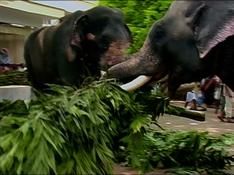 wide shot elephant dragging bundle of branches with trunk at thrissur pooram elephant festival / thrissur, kerala, india - 引く点の映像素材/bロール