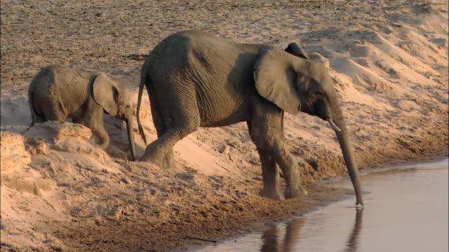 vidéos et rushes de wide shot elephant mother and calf drinking / elephant pushing mother / south luangwa national park / zambia - éléphanteau