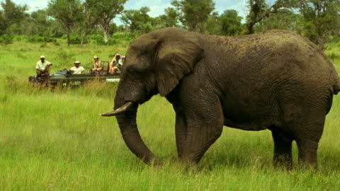 wide shot elephant scrapes foot in dirt and blows dirt in air / people in safari jeep in background / south africa - sparklondon stock videos & royalty-free footage