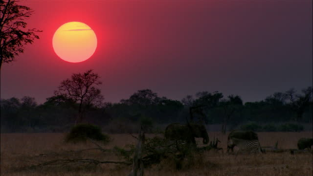 Wide shot elephants and zebras walking in bush at sunset / South Luangwa National Park / Zambia