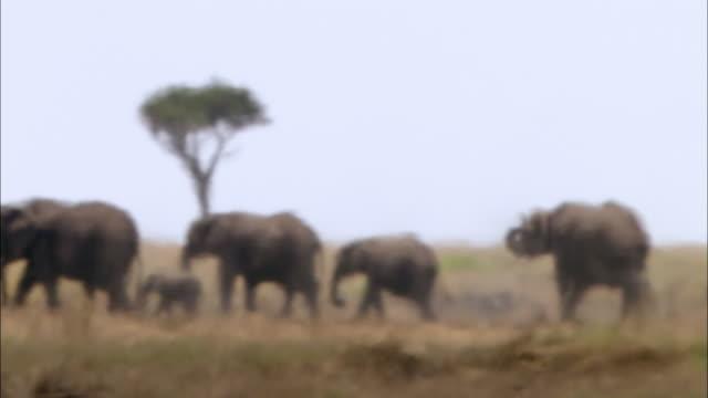 vídeos y material grabado en eventos de stock de wide shot elephants walking across hot and hazy grassland with acacia tree in background / masai mara, kenya - grupo mediano de animales