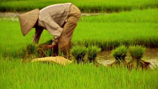 Wide shot farmer working in rice paddy / Vietnam
