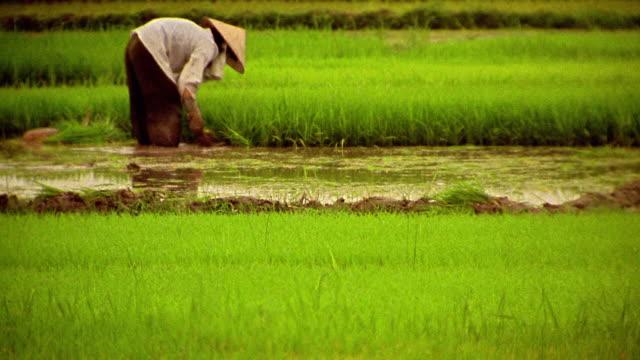 Wide shot female farmer working in rice paddy / Vietnam