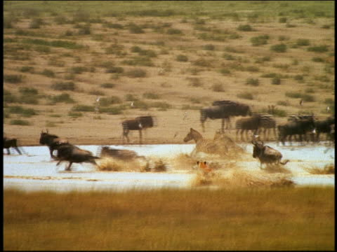 wide shot PAN female lion chasing wildebeest + zebras at watering hole, catches baby in water / Serengeti