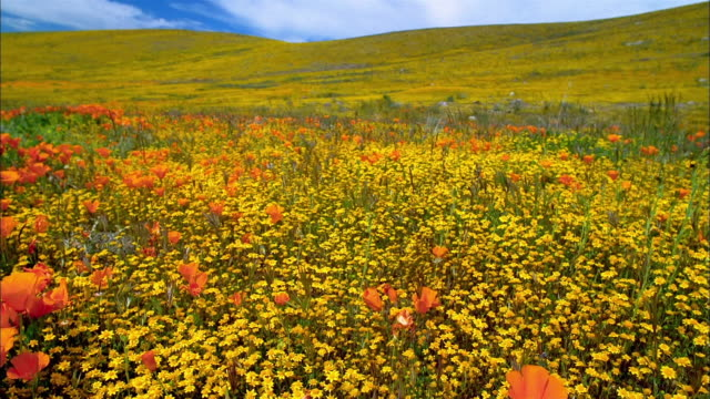 wide shot field of orange poppies and yellow buttercups with hill in background / lancaster, california - ラナンキュラス点の映像素材/bロール