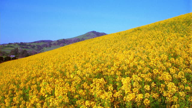 wide shot field of yellow wildflowers on hillside with hills in background / Napa Valley, California