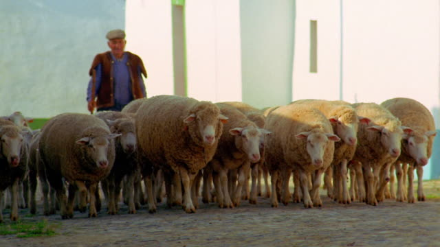 wide shot flock of sheep and shepherd walking toward camera on village street / sao pedro do corval, portugal - sheep stock videos & royalty-free footage