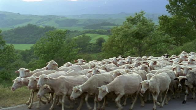wide shot flock of shorn white sheep and a few black walking on country road / tuscany, italy - erbivoro video stock e b–roll