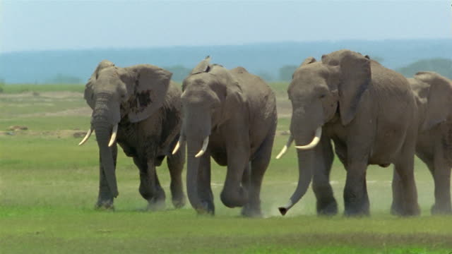wide shot four elephants running side-by-side across grassland / amboseli national park / kenya - herding stock-videos und b-roll-filmmaterial