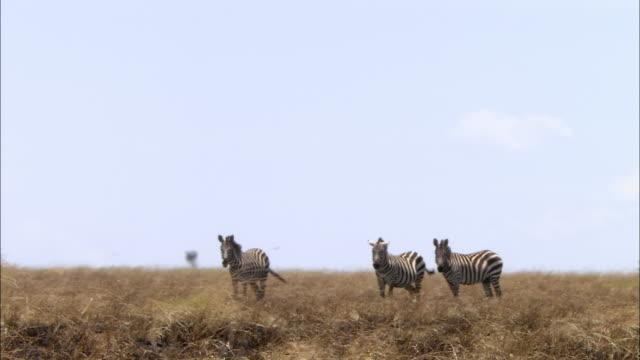 vídeos y material grabado en eventos de stock de wide shot giraffe walking past 3 zebras on flat grassland / masai mara, kenya - cuello de animal
