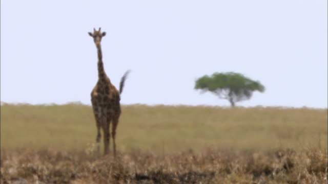 vídeos y material grabado en eventos de stock de wide shot giraffe walking toward cam with acacia tree in background, both blurring from heat and haze/ masai mara,kenya - cuello de animal