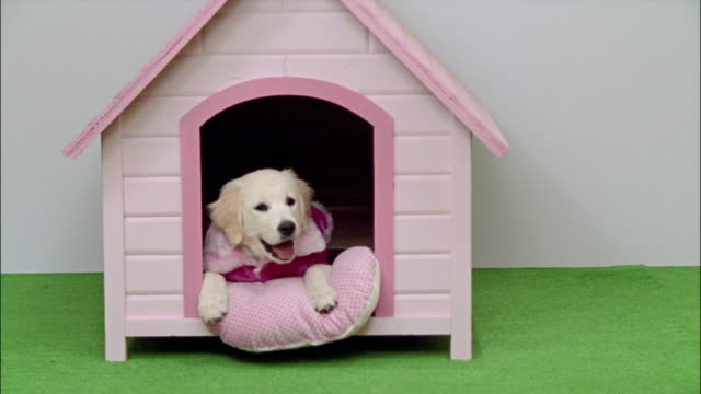 wide shot golden retriever puppy in pink jacket laying in pink dog house/ california - golden retriever stock videos and b-roll footage