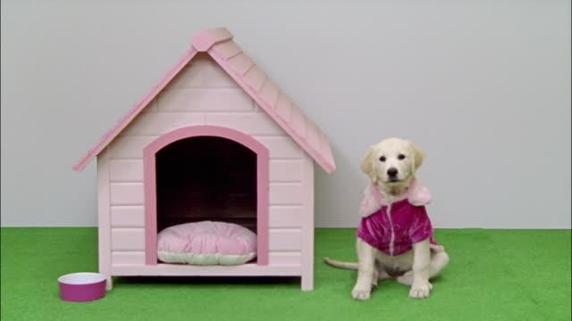 Wide shot Golden Retriever puppy in pink jacket next to pink dog house/ California