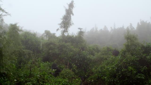 Wide Shot- Gorillas in the mist
