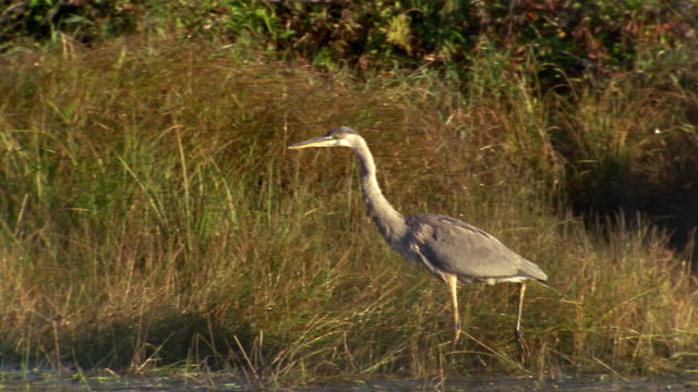 vídeos de stock, filmes e b-roll de wide shot great blue heron wading at water's edge - vadear