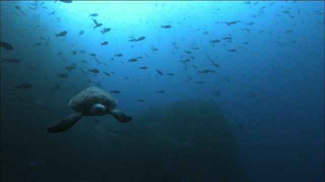 Wide shot green sea turtle swimming towards CAM / creole fish schooling / Cocos Island, Costa Rica