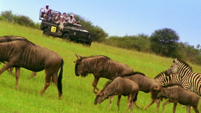 Wide shot group of wildebeests and zebras grazing + walking past people in jeep in background / South Africa