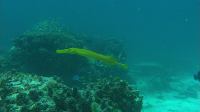 wide shot hand-held pan-left push-in - a yellow trumpetfish swims around on a coral reef in the ocean / australia - trumpet fish stock videos & royalty-free footage