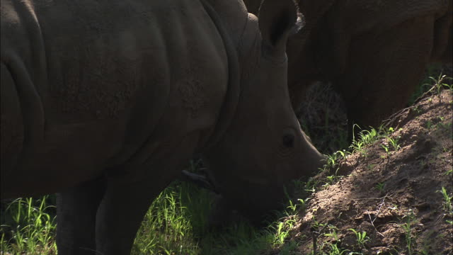 Wide Shot hand-held zoom-out - A baby rhino grazes with its mother. / South Africa