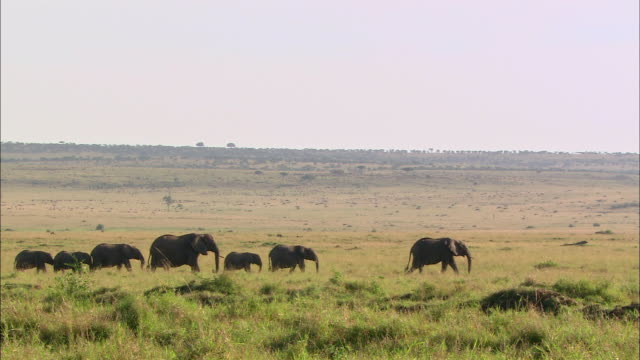wide shot herd of african elephants walking across african landscape / masai mara, kenya - in fila video stock e b–roll