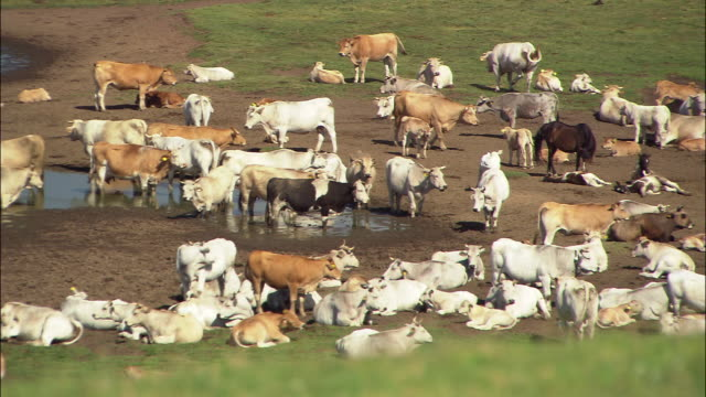 vídeos de stock, filmes e b-roll de wide shot herd of cows standing and lying around in dirt and mud/ umbria - umbria