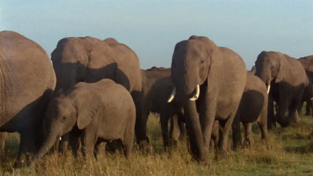 Wide shot herd of elephants walking in line across the plain / Africa