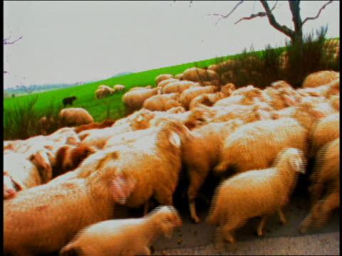 vídeos de stock e filmes b-roll de wide shot herd of sheep walking on road / munich, germany - super exposto