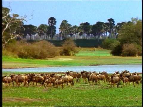 wide shot herd of wildebeest walking on plain - herbivorous stock videos & royalty-free footage