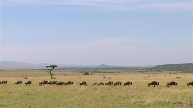 wide shot herd of wildebeests migrating across the plain / masai mara, kenya - antilope stock-videos und b-roll-filmmaterial