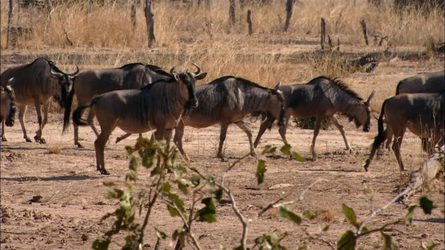 Wide shot herd of wildebeests walking / South Luangwa National Park / Zambia