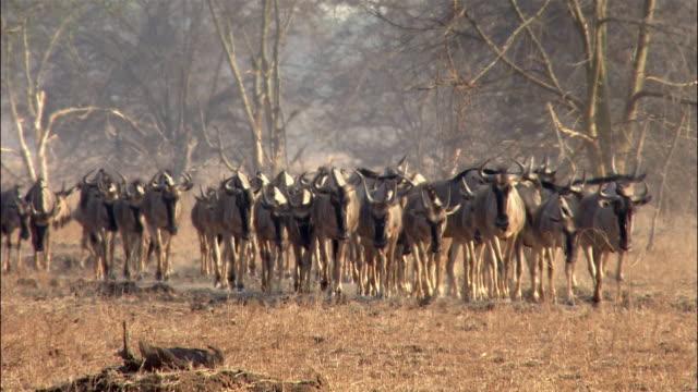 Wide shot herd of wildebeests walking towards CAM / South Luangwa National Park / Zambia