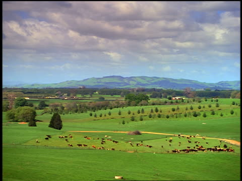 wide shot high angle pan herd of cattle in green fields under cloudy sky / north island, rotorua / new zealand - rolling landscape stock videos & royalty-free footage