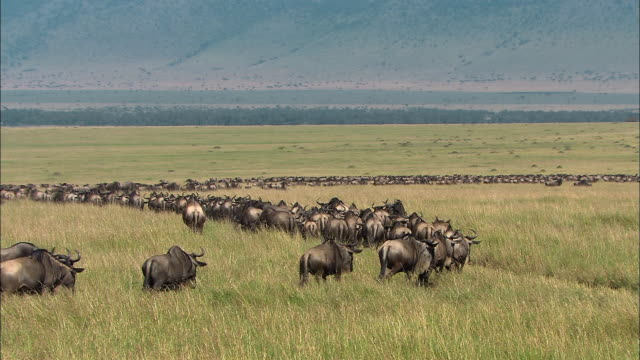 Wide shot hundreds of migrating wildebeests in field / Masai Mara, Kenya