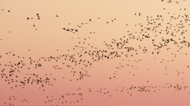 vidéos et rushes de wide shot - hundreds of sandhill cranes fly through the evening sky as they prepare to nest on the platte river during their northern migration. - voler