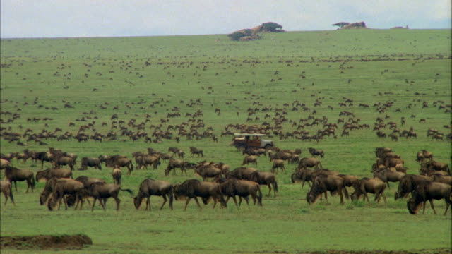 wide shot jeep driving across plain through grazing herd of wildebeest / africa - erbivoro video stock e b–roll