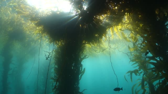 wide shot: large amounts of seaweed floating up towards water's surface - brown stock videos & royalty-free footage