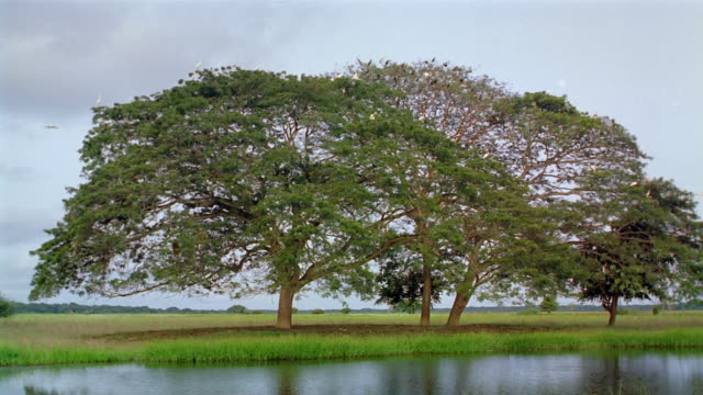 vidéos et rushes de wide shot large flock of birds perched on treetops by body of water / venezuela - se percher