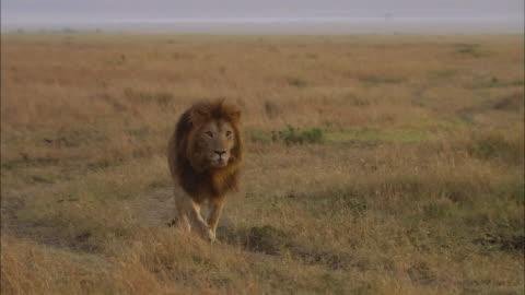 wide shot lion walking through grass and looking at cam / masai mara, kenya - safari animals stock videos & royalty-free footage
