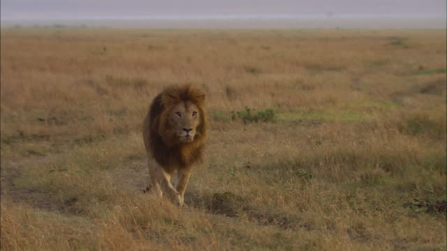vidéos et rushes de wide shot lion walking through grass and looking at cam / masai mara, kenya - cinématographie
